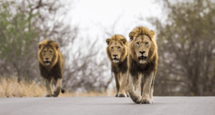 buy-furniture-online-kruger-national-park-lions-min